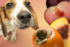 Can dogs eat peaches? peaches are not safe for dogs because the pits contain cyanide, which can be very harmful for your dog. Dangerous Foods For Dogs, Foods Bad For Dogs, My Dog Wont Eat, Can Dogs Eat, Baby Animals, Cute Animals, Homemade Dog Food, Dog Eating, Dog Signs