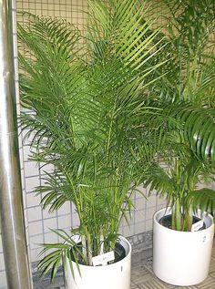 10 Houseplants That May Purify Indoor Air: Areca Palm (Chrysalidocarpus lutescens) Best Indoor Plants, Cool Plants, Living Room Plants, House Plants, Areca Palm Care, Houseplants Safe For Cats, Plantas Indoor, Home Air Purifier, Jade Plants