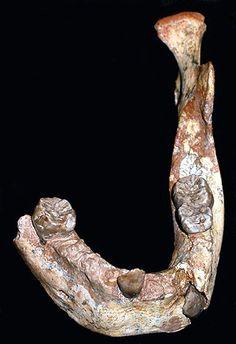 (Mandíbula fosilizada de 160.000 años hallada en Marruecos en (2007)). El Homo sapiens emergió en África hace unos 180.000 años. Tuve la ocasión de admirar el cráneo descubierto por mi colega Tim White de la Universidad de Berkeley en Herto (Etiopía); con su hallazgo, el origen de nuestra especie se retrasaba en unos decenas de miles de años.  En la actualidad se debate una hipótesis que defiende la expansión de nuestra especie hacia el mediterráneo desde África centrooriental.