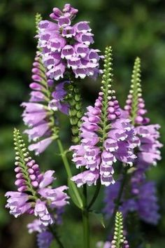 Physostegia virginiana Gelenkblume Red Beauty