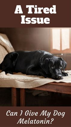 Is Melatonin SAFE for Dogs? Everything You NEED to Know About Melatonin for Dogs Is Here. Melatonin Dosage for Dogs, Benefits, Risks, Side Effects and Boxer Dog Quotes, Boxer Dogs, Labrador Puppies, Dog Separation Anxiety, Dog Anxiety, Puppy Care, Pet Care, Melatonin For Dogs, Dog Health Care