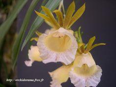 Galeandra villosa