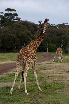 Bet you didn't know Giraffes could dance! These 2 boys are at Werribee Open Plains Zoo in Victoria, Australia.