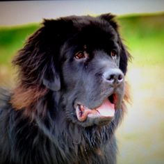 My Newfoundland puppy diesel!!! Love