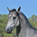 Sileby Kruzsader | Sileby Arabians