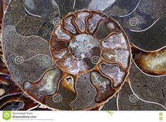 Ammonites Belong To Their Coiled Shell Fossils Stock Photo - Image of coiled, natural: 77707278