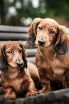 Two adorable #dachshund puppies posing together on a bench