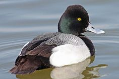 Lesser and Greater Scaup Identification Tips