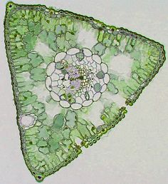 Cross Section of a pine needle.