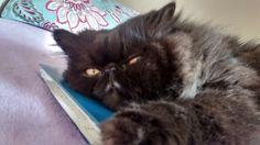Telinho, doce de gato, só tem a carinha de bravo.