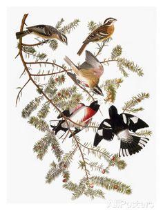 Audubon: Grosbeak Art by John James Audubon at AllPosters.com