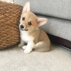 Cute Dogs And Puppies Wallpaper For Mobile Welsh Corgi Pembroke, Welsh Corgi Puppies, Aussie Puppies, Fluffy Puppies, Cute Puppies, Cute Dogs, Dogs And Puppies, Puppies Tips, Awesome Dogs