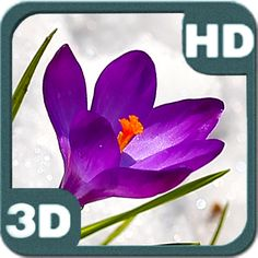 Crocus Flowers Spring Bloom. Bright purple Crocus flowers and golden buds grown for you among white ice snow! It is the spring time! Early spring time! Spring is coming and crocus flowers in bloom! But snow is still lies on the garden bed fields and flowerbeds  at our Android Personalization portal: piedlove.com and our video channel at: piedlove.com/video