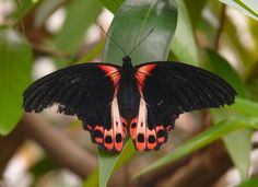 Scarlet Schwalbenschwanz Butterfly (Papilio Rumanzovia) from http://writerfox.hubpages.com/hub/the-butterfly-pictures#slide8190930