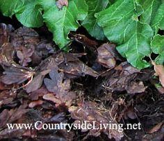 Мульчирование. Полуготовый листовой перегной в качестве мульчи (мульчирующего материала) под ревенем в моем саду