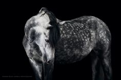 Fine art animal photography of multiple-award winning photographer Wiebke Haas. Find mesmerizing portraits especially of beautiful horses outdoor and in studio. All The Pretty Horses, Beautiful Horses, Equine Photography, Animal Photography, Dapple Grey Horses, Photo Animaliere, Horse Videos, All About Horses, Horse Quotes