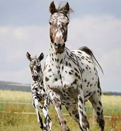 APPALOOSA AND HER FOAL