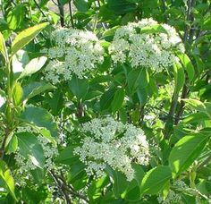Viburnum lentago -  Nannyberry Viburnum - 10-12 feet, have 3 on lot, very shade tolerant