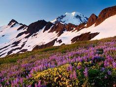 Proshots - Lupine, Mount Baker Wilderness, Washington - Professional Photos