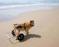 Wheelchairs for Disabled Dogs
