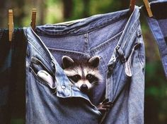 Raccoon and Levis