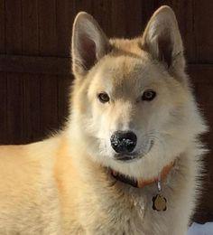 Meet Aksel, a Petfinder adoptable White German Shepherd Dog | Littleton, CO | Aksel: German Shepherd/Husky Mix, Male, White and Grey, 85 lbs., DOB January 31, 2014- How cute...