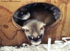 Wild Again: The Struggle To Save The Black-Footed Ferret by author David Jachowski. May 2014.  http://www.smallanimalchannel.com/ferrets-magazine/product-spotlight/wild-again-book-1405.aspx?utm_source=SilverpopMailing&utm_medium=email&utm_campaign=Ferrets%202014-05-13%20(1)&