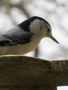 profile of a nuthatch  I watch a lot of these