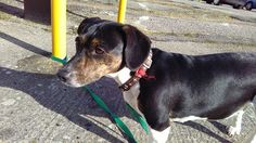 STRAY DOG FOUND A Female Jack Russell x Dachshund was found on 7.2.17, in Teville Road, Worthing. This young dog has a brown leather collar with several small white crosses but with no ID tag and no microchip present. The dog has visited the vet and no pr