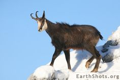 Chamois by Marguet Pascal
