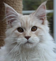 Maine Coon kittens for sale - Coonspiracy Maine Coons - Jasmine