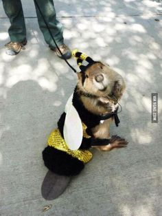 Just incase you haven't seen a beaver in a bee costume