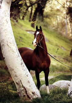 Curious looling horse posing by a white tree. He is beautiful! Khemosabi