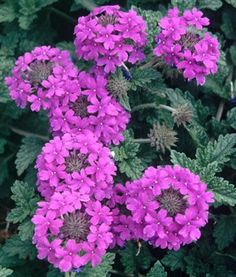Verbena Homestead Purple,buy Verbena for sale,Plants on-line-Plant Delights Nursery, Inc. Dark Purple Flowers, Colorful Flowers, Beautiful Flowers, Purple Perennials, Rabbit Resistant Plants, Hummingbird Plants, Cottage Garden Plants, Small Gardens, Purple Flowers