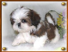 Shihtzu Dogs and Puppies Twana's Pe-Kae Treasures- Ragdoll Cats & Kittens Photo Album
