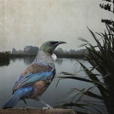 Tui Territory by Clive Collins - Art Prints New Zealand Pretty Birds, Beautiful Birds, Tui Bird, New Zealand Art, Nz Art, Maori Art, Kiwiana, Landscape Artwork, Bird Art