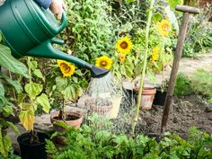 See How to grow Sunflowers in your garden