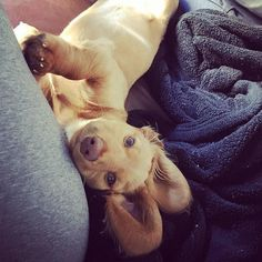 Bunny or sausagedog?  you tell me  lovely post from IG @reesethegoldendachshund #sausausagedoglove