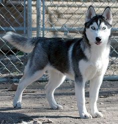 What a pretty blue-eyed Siberian Husky caught with his tongue out.  So cute!