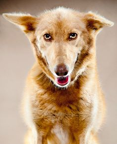 Butterscotch, an Alaskan sled dog, photographed by Albert Lewis.  Here is a great article about Albert's photo book of sled dogs.  Butterscotch is from Colleen Robertia's Rogues Kennel in Kasilof, Alaska.