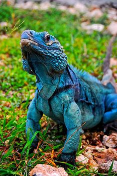 Blue Iguana in Cayman Islands © Unknown