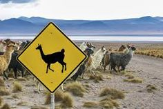 Llama and Vicuña crossing sign in the highlands of Bolivia with the corresponding animals crossing behind it, illustrating how road signs vary in different cultures. Deer Crossing, Animal Crossing, Travel Around The World, Around The Worlds, Deer Species, California Sign, Deer Signs, African Antelope, International Day Of Happiness