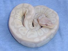 Lavender Albino Snow - Morph List - World of Ball Pythons Pretty Snakes, Beautiful Snakes, Ball Python Morphs, Cute Reptiles, Reptiles And Amphibians, Cute Snake, Beautiful Dark Art, Albino, Animal Photography