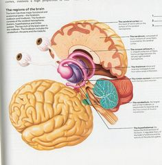 the regions of the brain #science