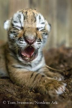 Nordens Ark Welcomes Three Amur Tiger Cubs