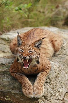 Luchs (German for Lynx) may refer to: Lynx, Beautiful Cats, Animals Beautiful, Animals And Pets, Cute Animals, Wild Animals, National Geographic Animals, Clouded Leopard, Rare Cats