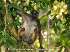 Neotropics (New World) Most Endangered Primates 2014--2016   Spider Monkey Conservation Project, Ateles hybridus, Caparo Forestry Reserve, Venezuela  Brown spider monkey Ateles hybridus is of particular interest for conservation. It is distributed in both Colombia and Venezuela, and considered Crtically Endangered due to habitat destruction. The spider monkey is included in the IUCN's 25 most endangered primate list.