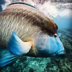 A curious Maori wrasse swims by to take a look on the #GreatBarrierReef #Cairnes #Australia. by jamesmorganfoto http://ift.tt/1UokkV2