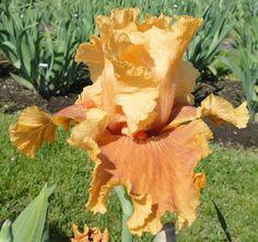 Comanche Acres Iris Gardens - Gower, MO - Cherry Cheeks Tall Bearded Iris