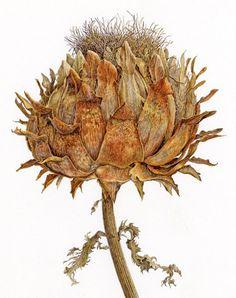 Cynara cardunculus © Marion Perkins SBA FRSA MIL